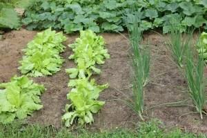 Lettuce begin, shall we?