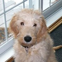 Young Einstein -- aka Riley, a golden-doodle who won the Erin Solomon Cover Model Contest in 2012.