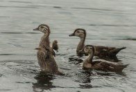 Several families of ducks raised their young in the stream behind the MLRC. These Wood Duck ducklings were a regular sight with the onset of summer.