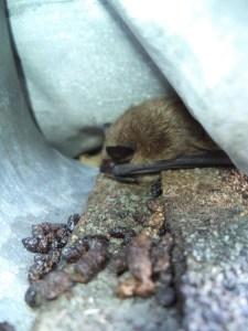 Bat Guano Removal Monroe Maine