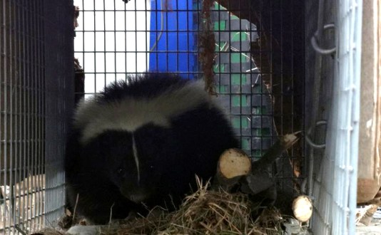 maine wildlife Removal skunk