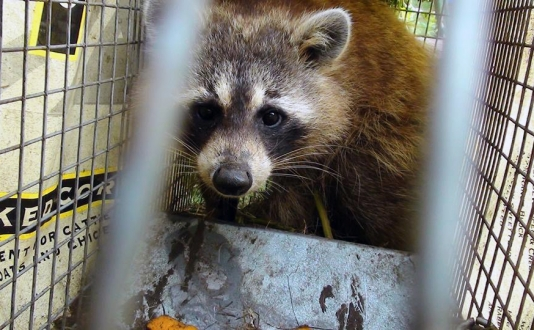 maine wildlife Removal raccoon