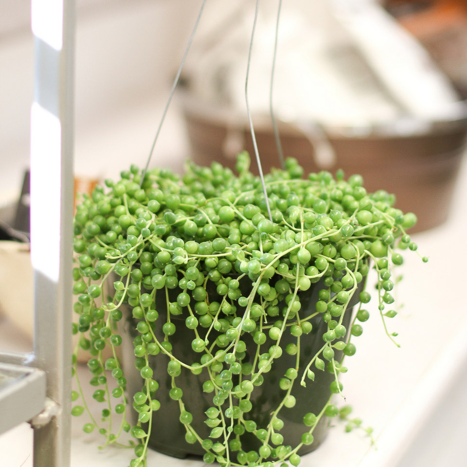 String of Pearls { Local Florist Plant Care Blog }