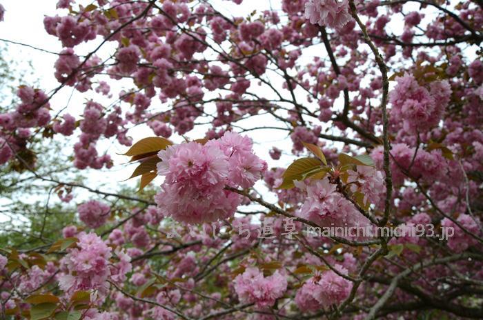 大室山の八重桜