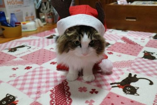 クリスマスコスプレをする猫