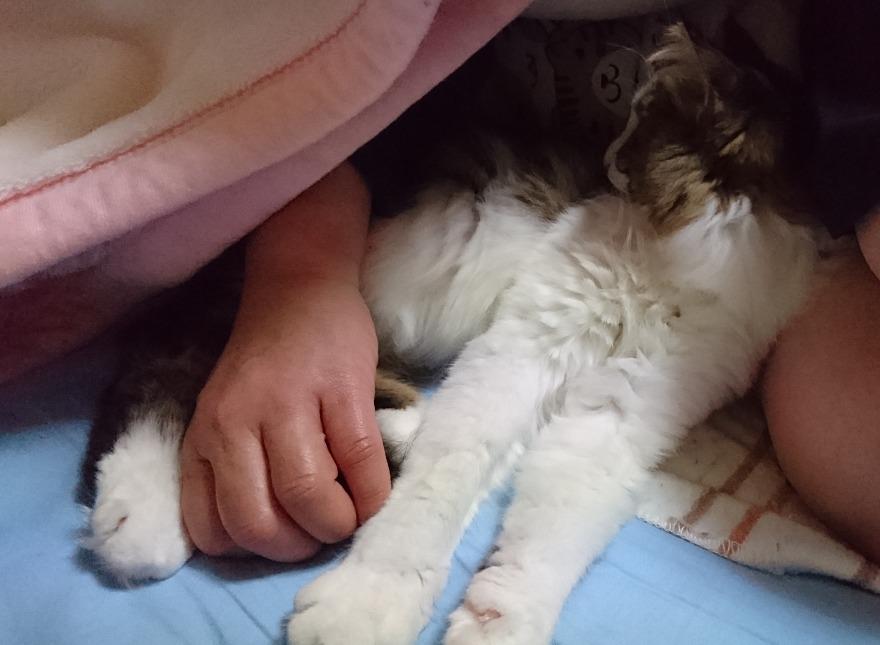 毛布にくるまる猫の画像