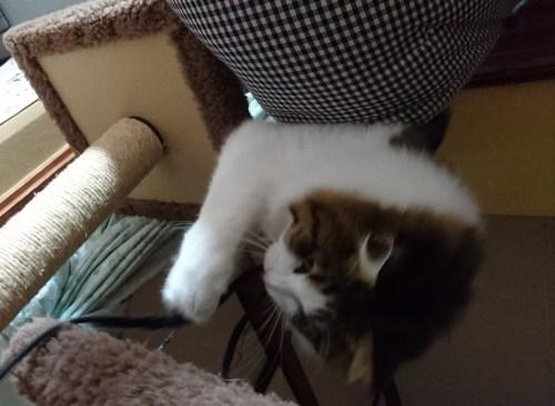 ひもで遊ぶ猫