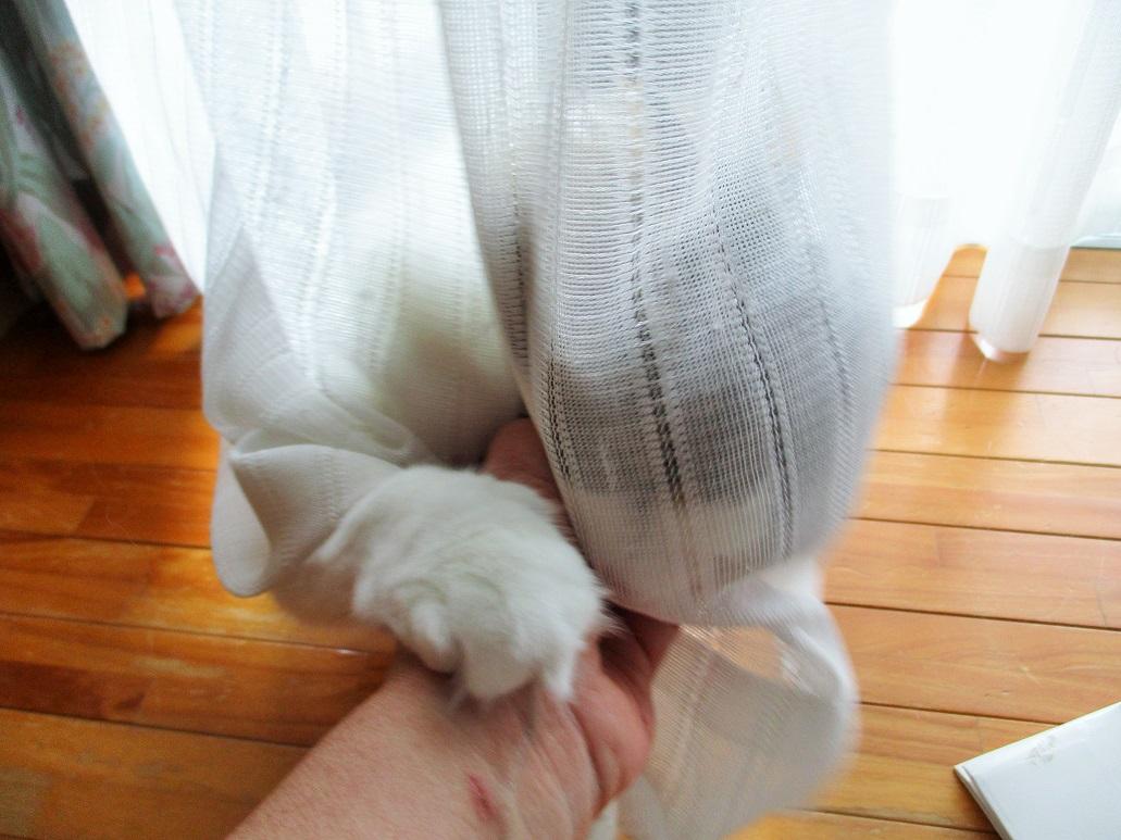 カーテン越しに遊ぶ猫