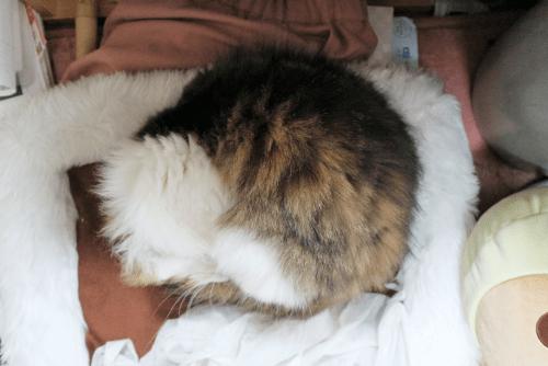 丸くなるネコ