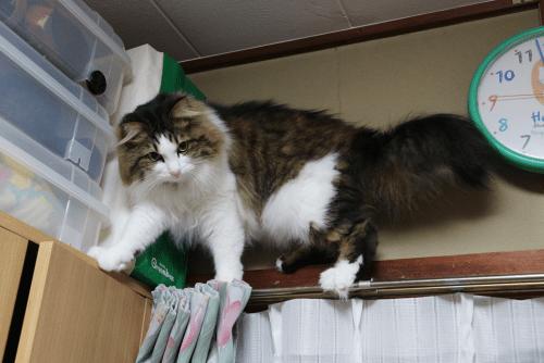 カーテンレールの上に上る猫
