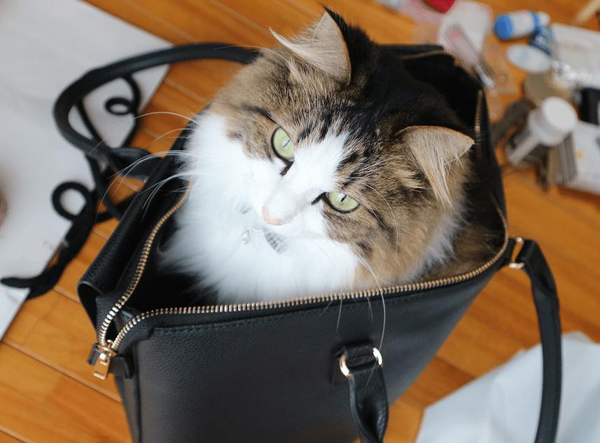 ビジネスバッグに入る猫
