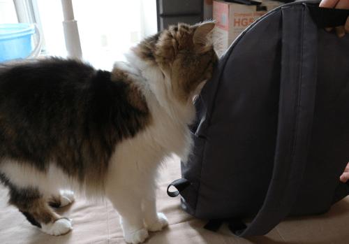 リュックに入ろうとする猫