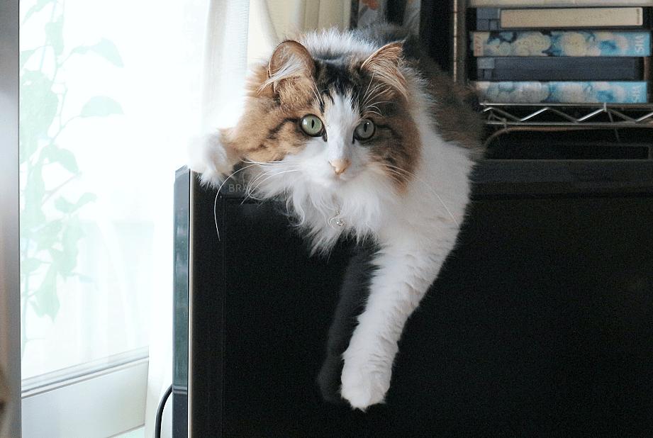 テレビの上に乗る猫