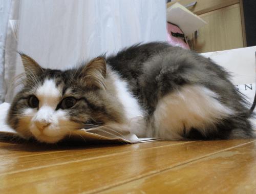 ごめん寝をする猫