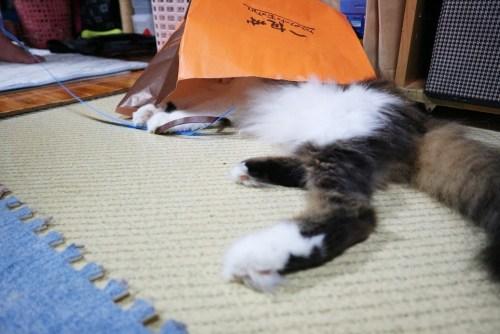 袋に入って遊ぶ猫