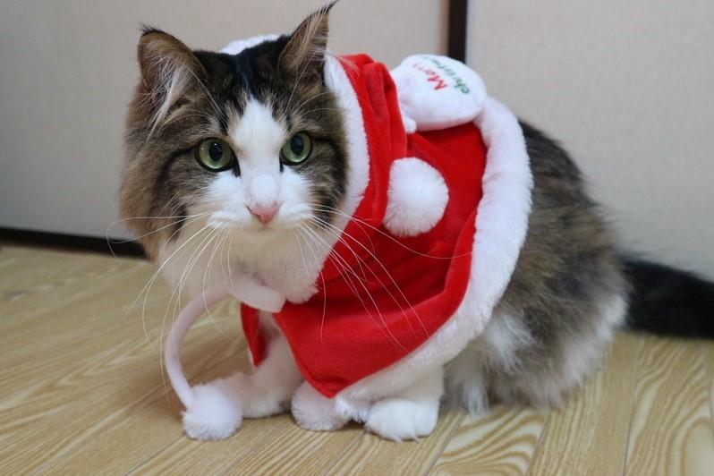 サンタのコスプレをする猫