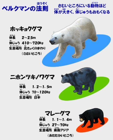 ベルクマンの法則 クマ