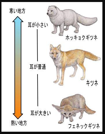 アレンの法則 狐