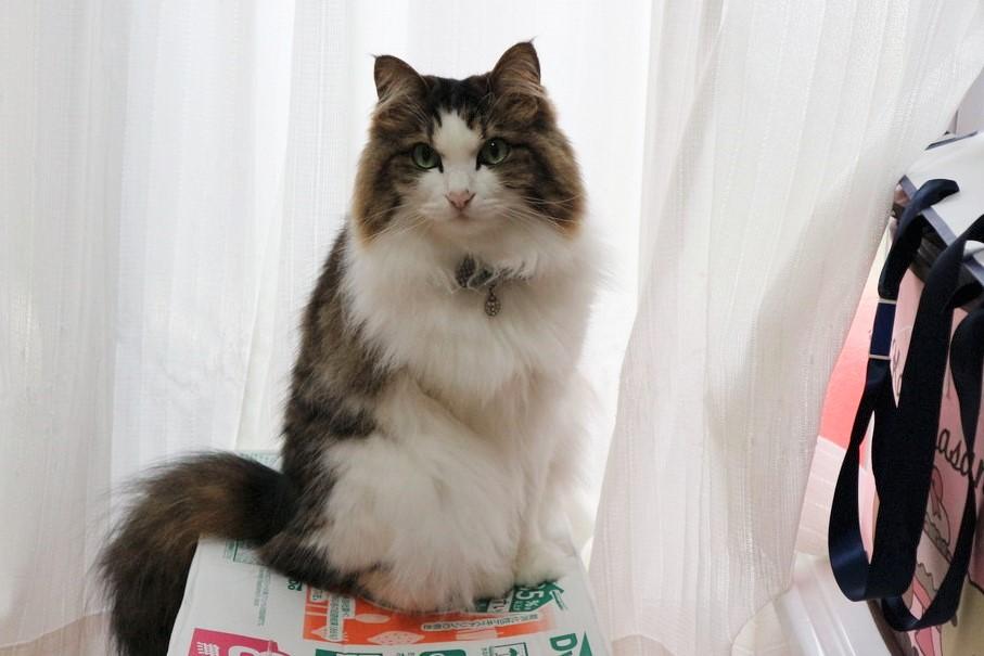 猫 起源 先祖 ミアキス