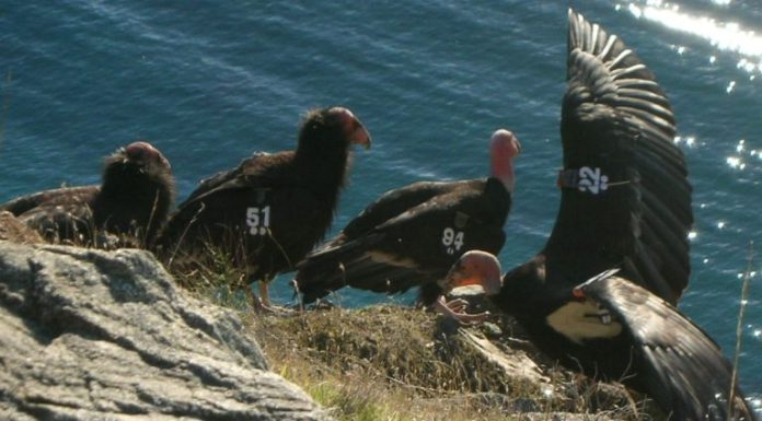 California condors wear unique numbered tags