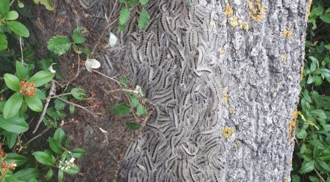 Attention danger, chenilles processionnaires et nids de frelons