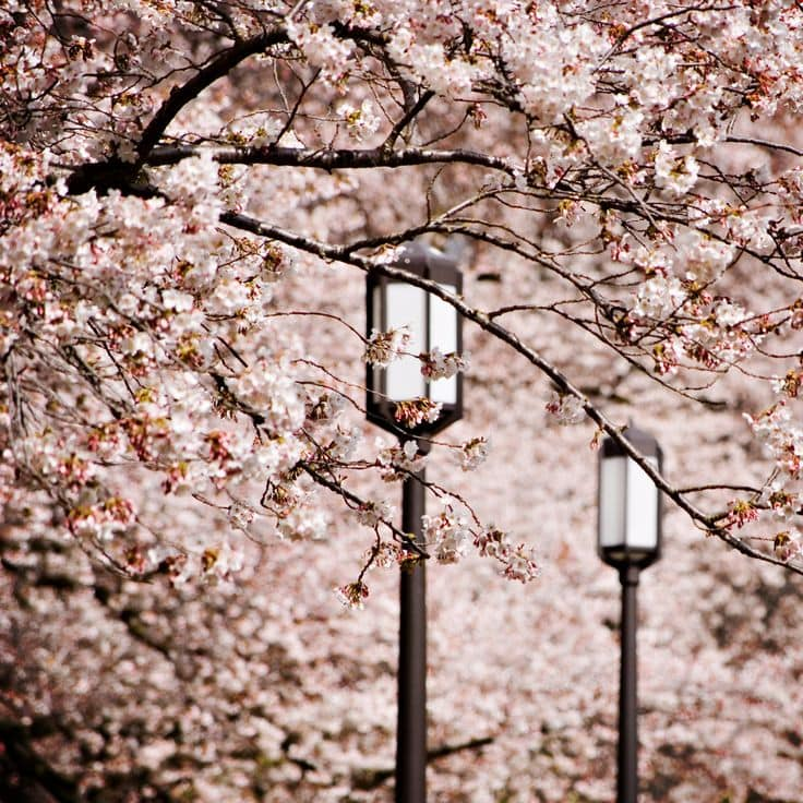 inspiration-cherry-blossoms-change-world