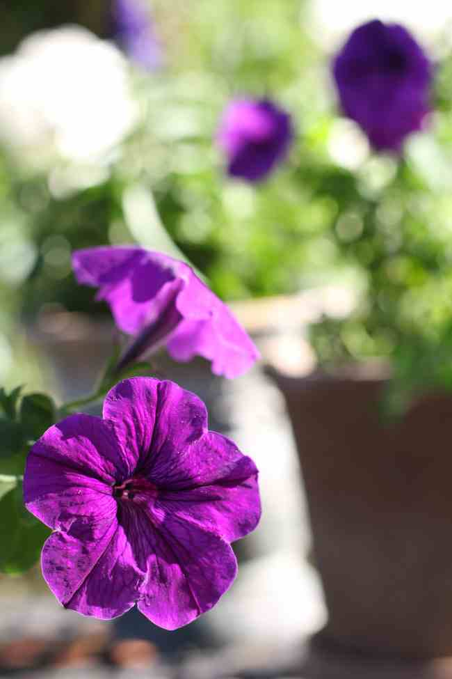 purple-petunia-backyard-refresh-2