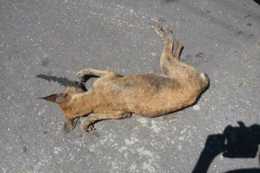 cachorros_suspeita_envenenamento_monte_alegre_01_maissertao