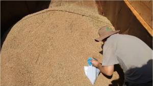 coleta de trigo seapi