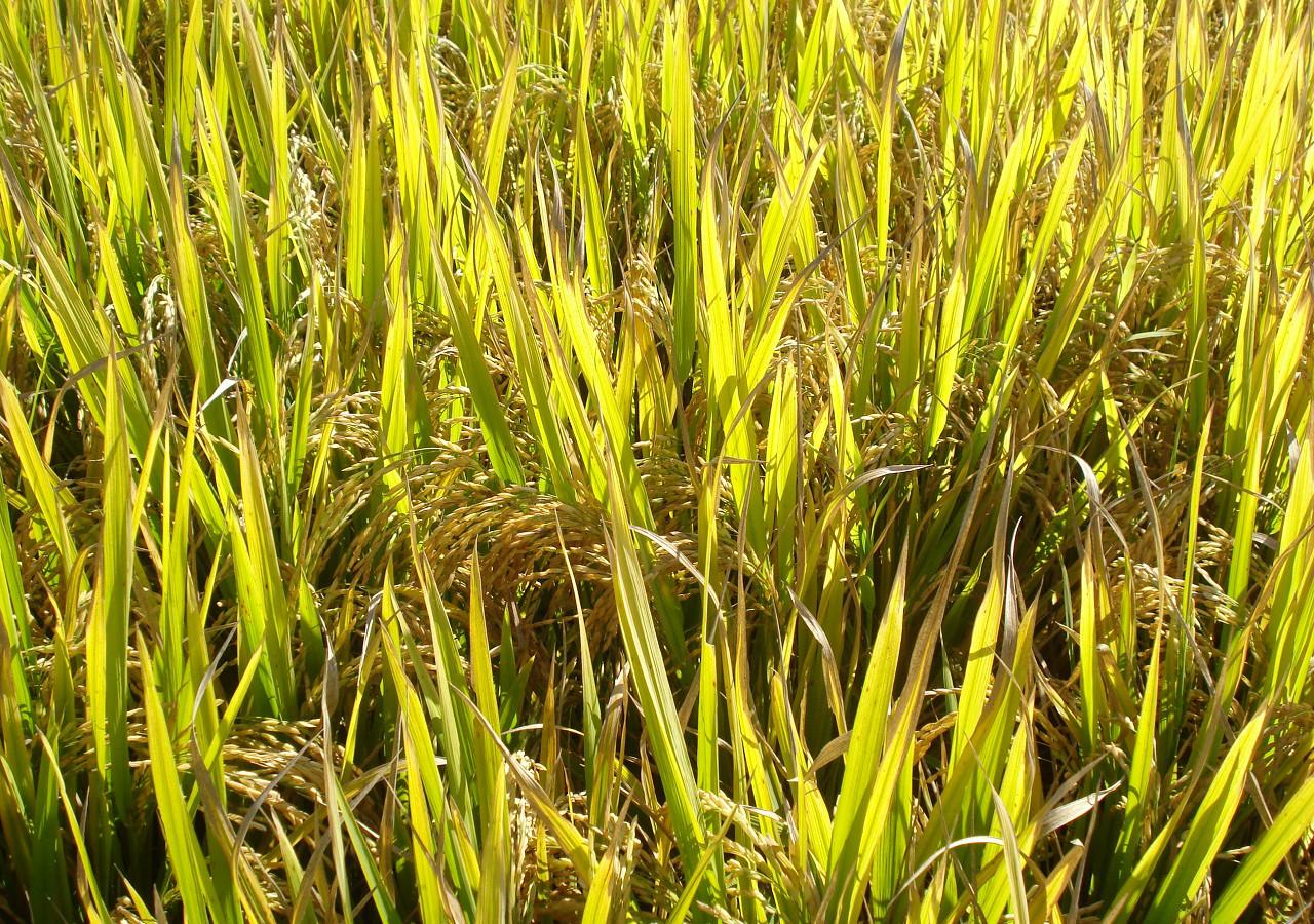 Em heliodora maior munic pio mineiro produtor de arroz est em fase de teste um novo material gen tico para produ o deste cereal