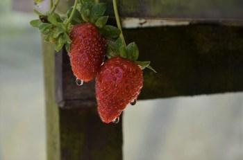 Morangos - Raju's Strawberry Farm