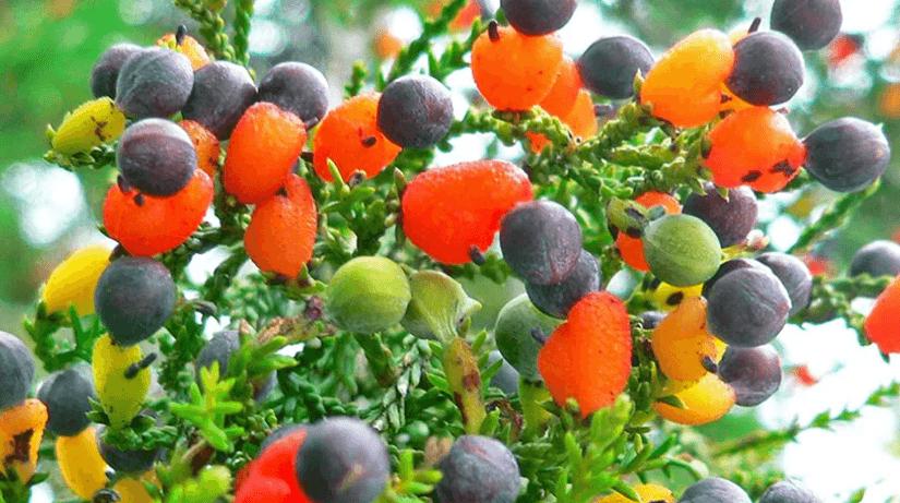 ४० थरीका फल फल्ने रुख