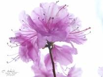 Rhododendrons, printemps, jardin botanique, Montréal