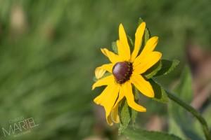 Marguerite jaune, Anjou l'automne