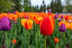 banc de tulipes rouges-orangées, oranges et mauve près des fontaines de l'entrèe, printemps, jardin botanique, Montréal, Qc