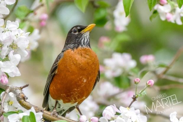 Merle d'Amérique chantant dans un arbre en fleurs, printemps, jardin botanique, Montréal, Qc