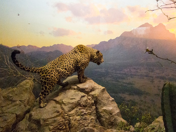 Natural-History-Leopard