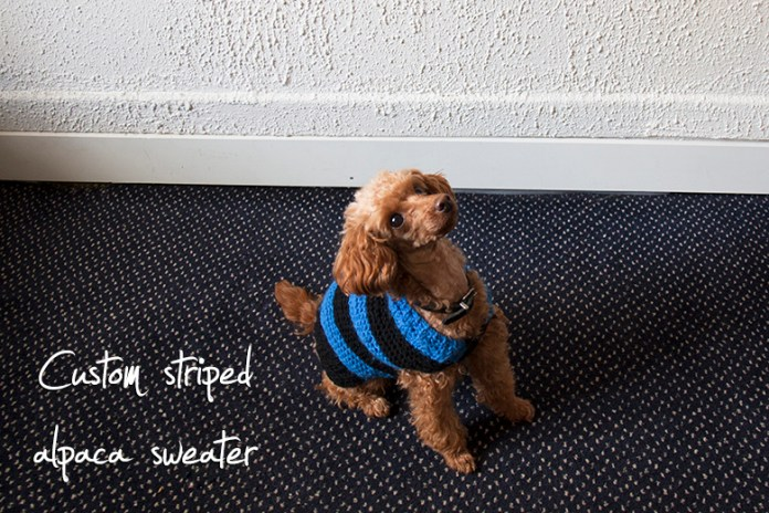 Fluffy apricot-colored toy poodle wearing a black and blue striped knitted sweater