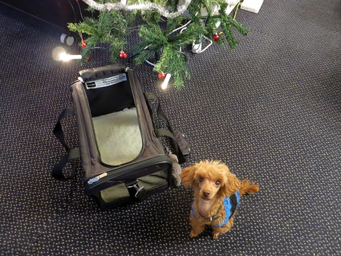 Toy poodle wearing a blue knitted sweater sitting in a sherpa travel bag for dogs