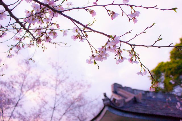 wanderlust list 2018- japan cherry blossoms