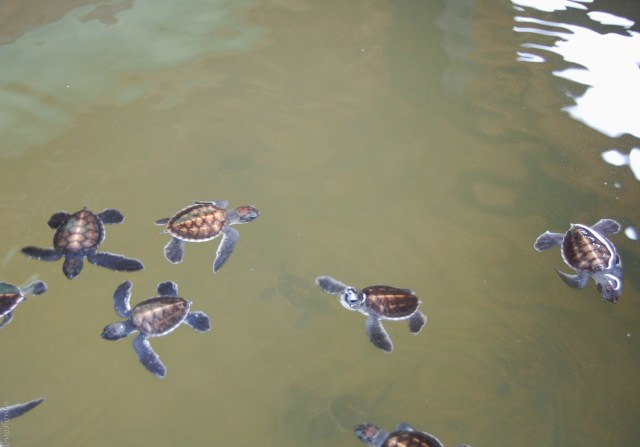 must see winter holiday breaks- sri lanka turtles