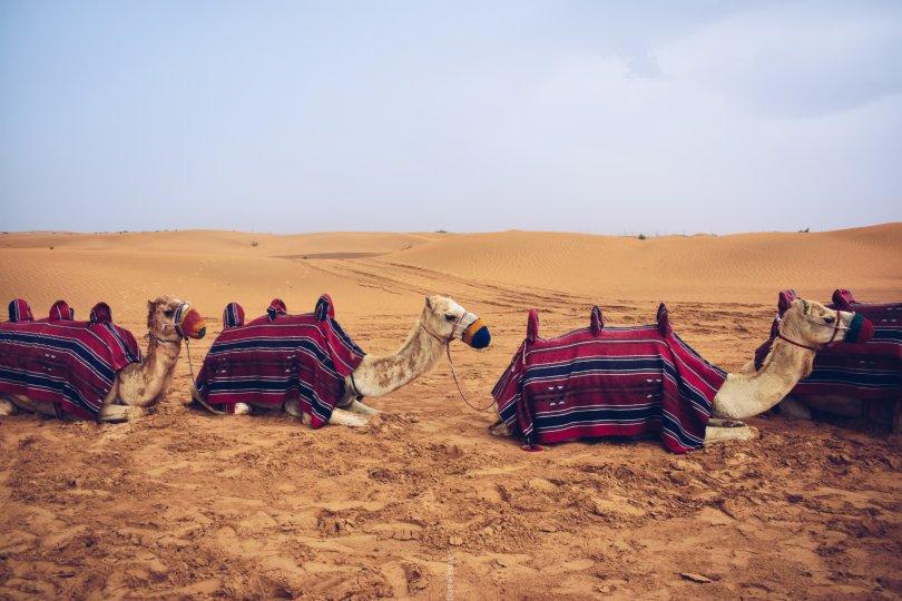 5 places worth seeing in Dubai - camel trio