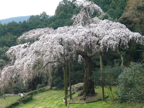 odawara-sakura