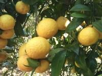 真鶴のレモン狩りはオレンジフローラルファームがおすすめ!