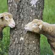 Montaigne – Quant au parler des animaux…