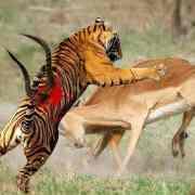 Hobbes – La bestialité de l'homme à l'état de nature