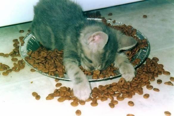 Sleepy Cat On Food