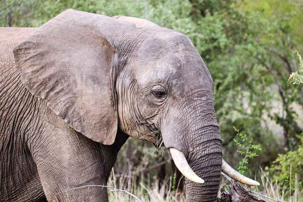 Londolozi elephant up close