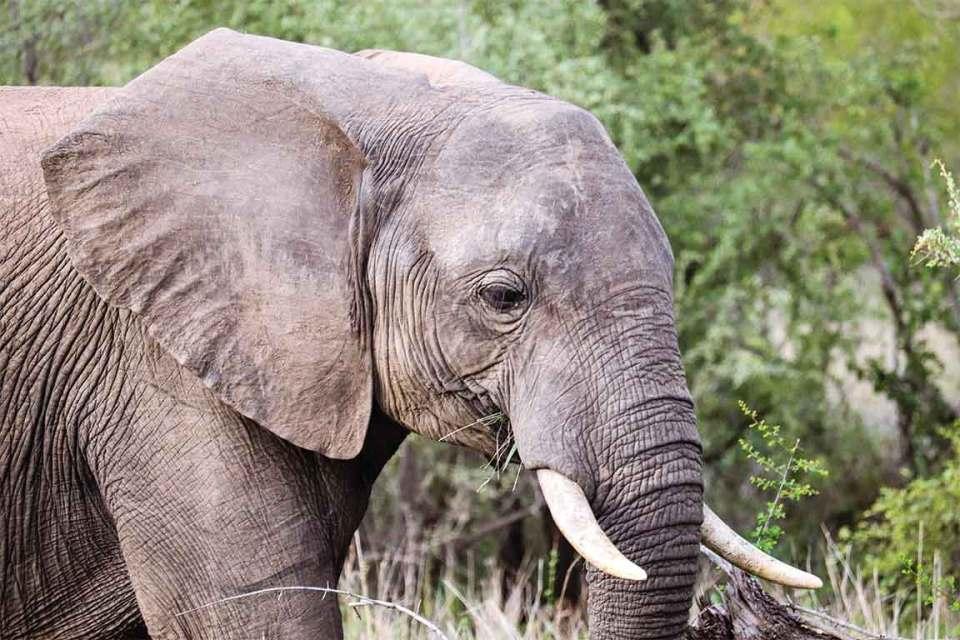 Londolozi elephant up close