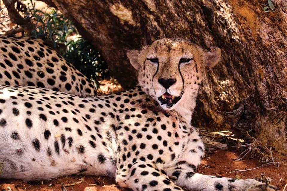 Tswalu Kalahari Cheetahs